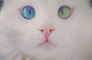 Γάτα με ετεροχρωμία