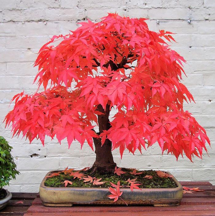 Ιαπωνέζικος Κόκκινος Σφένδαμος