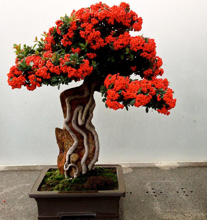 Πυράκανθος Μπονσάι