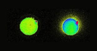 Επιστήμονες Εντόπισαν Λάμψεις Φωτός τη Στιγμή της Γονιμοποίησης του Ωαρίου! (Βίντεο)