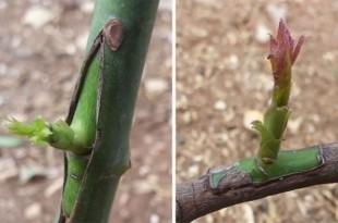 Πως να Κάνετε Εμβολιασμό (Μπόλιασμα) σε Καρποφόρα Δένγτρα στον Κήπο σας