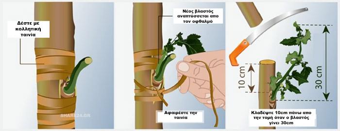 Πως να κανετε εμβολιασμο (μπόλιασμα) σε καρποφόρα δέντρα στην κήπο σας - Εμβολιασμός Τύπου Τ - Τελευταίο Κλάδεμα