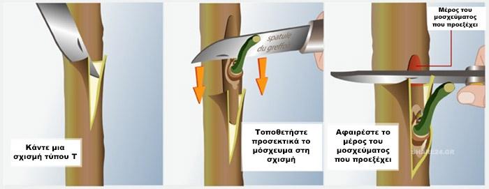 Πως να κανετε εμβολιασμο (μπόλιασμα) σε καρποφόρα δέντρα στην κήπο σας - Εμβολιασμός Τύπου Τ - Εισαγωγή Μοσχεύματος στην Σχισμή