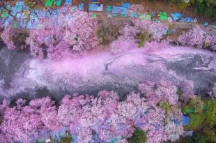 Η άνθηση της ιαπωνικής κερασιάς σε 17 υπέροχες φωτογραφίες από το National Geographic