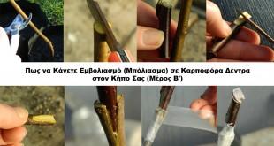 Πως να Κάνετε Εμβολιασμό (Μπόλιασμα) σε Καρποφόρα Δέντρα στον Κήπο Σας (Μέρος Β')