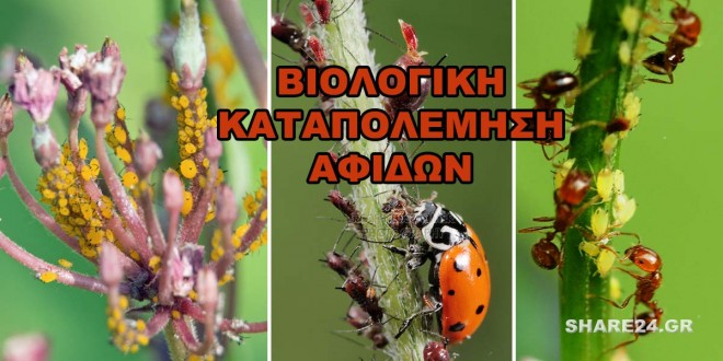 Βιολογική Καταπολέμηση Αφίδων Μελίγκρα Με Φυσικές Μεθόδους
