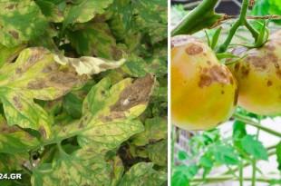 Αναγνωρίστε τις Ασθένειες της Ντομάτας και Αντιμετωπίστε τες με Βιολογικό Τρόπο