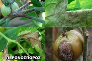 Ασθένειες Ντομάτας Περονόσπορος Ντομάτας