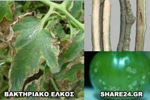 Ασθένειες Ντομάτας Βακτηριακό Έλκος