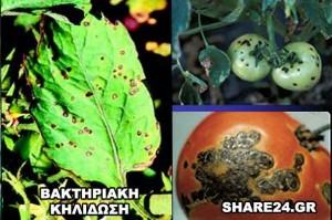 Ασθένειες Ντομάτας Βακτηριακή Κηλίδωση