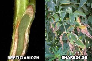 Ασθένειες Ντομάτας Βερτισιλλίωση
