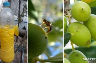Παγιδέψτε το Δάκο της Ελιάς με Βιολογικές Παγίδες και Προστατεύστε τις Ελιές Σας Διαβάστε Όλα Όσα Πρέπει να Ξέρετε