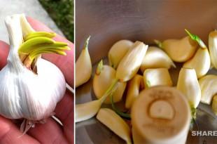 Να Γιατί Δεν Πετάμε Ποτέ Ένα Φυτρωμένο Σκόρδο Δείτε τι Οφέλη Έχει για την Υγεία Σας