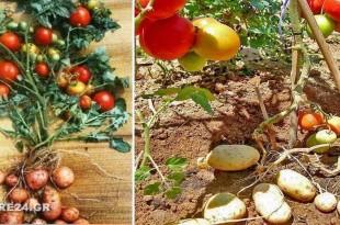 Πάνω Ντομάτα, Κάτω Πατάτα Μάθε πως να Καλλιεργήσεις Ντομάτες & Πατάτες στο Ίδιο Φυτό Ταυτόχρονα