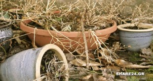 Πως να Επαναφέρω το Φυτό στη Γλάστρα πριν Ξεραθεί