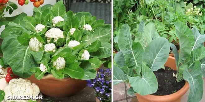 Πως να Μεγαλώσετε Κουνουπίδια σε Γλάστρα στον Κήπο Σας