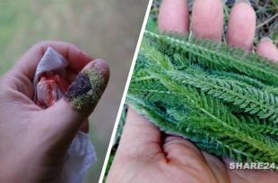 Αυτό το Βότανο Σταματά την Αιμορραγία - Φτιάξτε Φυσικό Στυπτικό σε σκόνη από τα Φύλλα του