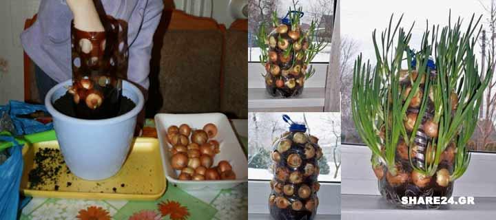 Κάθετη φύτευση Κρεμμυδιού στην κουζίνα του σπιτιού σε μπουκάλα