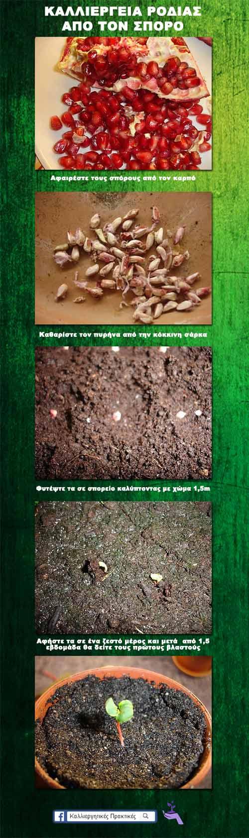 Καλλιέργεια ροδιάς απο το σπόρο σε εικόνες