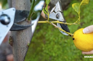 Πως να Κλαδέψετε τη Λεμονιά και Πότε είναι η Κατάλληλη Εποχή