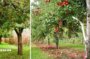 Οι Αποστάσεις Φύτευσης των Οπωροφόρων Δέντρων στο Περιβόλι