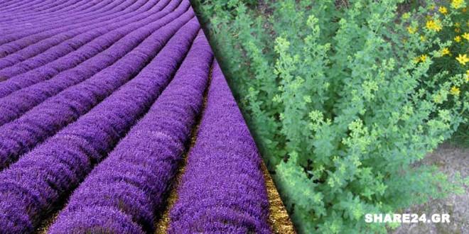 Η Χρυσή Λίστα με τα 23 Αρωματικά & Φαρμακευτικά Φυτά της Ελλάδας