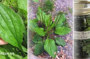 Η Γιαγιά το Αποκαλούσε Το Φύλλο που Γιατρεύει - Φυτρώνει σε Κάθε Κήπο και Έχει Απίστευτες Φαρμακευτικές Ιδιότητες