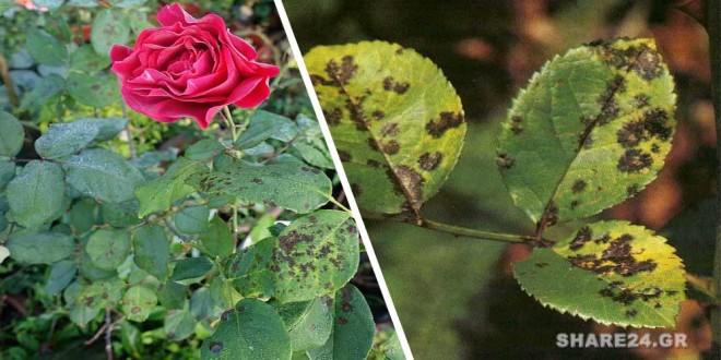 Μαύρες Κηλίδες στα Φύλλα της Τριανταφυλλιάς - Οι Καλύτερες Λύσεις για την Αντιμετώπισή Τους
