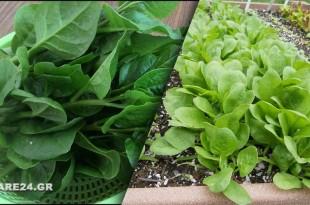 Πως να Καλλιεργήσω Σπανάκι στον Κήπο Εύκολα & Απλά