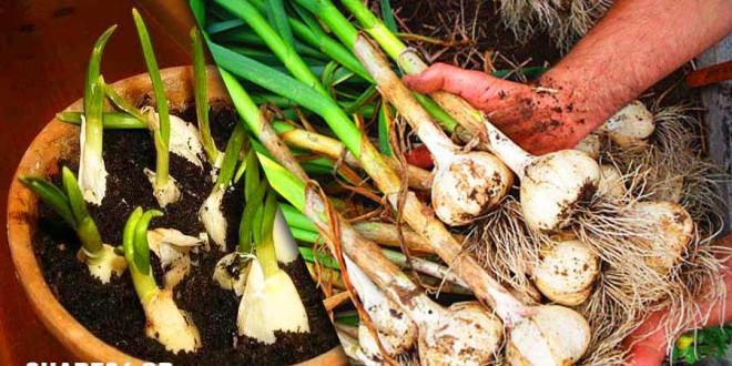 Πως θα Αποθηκεύσετε Σωστά τα Σκόρδα για να τα Φυτέψετε την Επόμενη Σεζόν