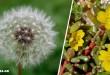 Αυτά τα Ζιζάνια του Κήπου Έχουν Ευεργετικές Ιδιότητες – Την Επόμενη Φορά Ξανασκεφτείτε το Πριν τα Πετάξετε