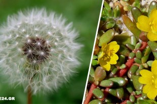 Αυτά τα Ζιζάνια του Κήπου Έχουν Ευεργετικές Ιδιότητες - Την Επόμενη Φορά Ξανασκεφτείτε το Πριν τα Πετάξετε