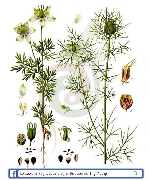 Τα βοτανικά χαρακτηριστικά του φυτού μελάνθιον το ημερον  (Nigella sativa)