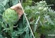 Πώς θα Καλλιεργήσετε την Αγκινάρα και πώς θα την Συγκομίσετε