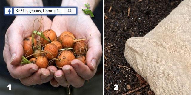 Ποικιλίες με κοντές σατρκώδεις ρίζες για πολύ συνεκτικά εδάφη - Καλύψτε με λινάτσα για να διατηρήσετε την υγρασία