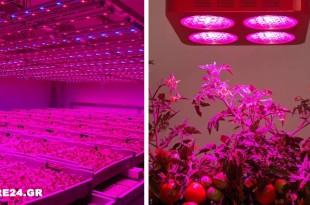 Πως το Κόκκινο Φως Μπορεί να Βοηθήσει στην Ανάπτυξη & στην Παραγωγή της Ντομάτας