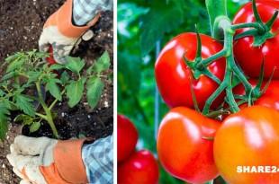 Ρίξτε Αυτά τα 8 Συστατικά στη Θέση Φύτευσης Και θα Μεγαλώσετε τις Πιο Γευστικές Ντομάτες
