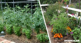 Ο Βασιλικός Προστατεύει τις Ντομάτες & Βελτιώνει τη Γεύση τους, Αυτό και Άλλα 9 Φυτά που Πρέπει να Φυτεύονται Δίπλα στις Ντομάτες