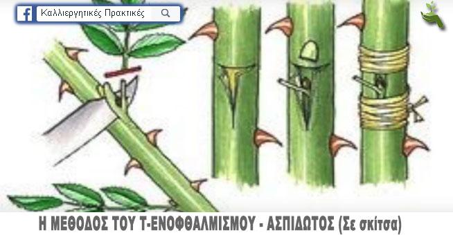 Πολλαπλασιασμός της τριανταφυλλιάς - Η μέθοδος του ενοφθαλμισμού τύπου Τ