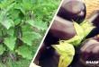 Πως θα Καλλιεργήσετε τις Μελιτζάνες στον Κήπο – Ένας Οδηγός Βήμα προς Βήμα