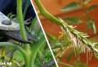 Γιατί ο Πολλαπλασιασμός της Ντομάτας με Μοσχεύματα είναι Πολύ Καλύτερος από το να τις Φυτέψετε με Σπόρο