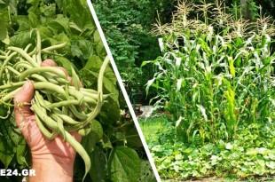 Η Κολοκυθιά & το Καλαμπόκι Προστατεύουν τη Φασολιά - Αυτά και Άλλα 6+ Φυτά που Φυτεύονται Μαζί με τη Φασολιά στον Κήπο