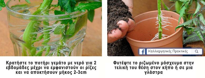 Κρατήστε τα μοσχεύματα στο νερό μέχρι να ριζοβολήσουν και μετά φυτέψτε τα στην τελική τους θέση στον κήπο