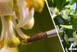 Πως να Επικονιάσετε τα Άνθη της Λεμονιάς με το Χέρι και σε Ποιες Περιπτώσεις Αυτό Χρειάζεται