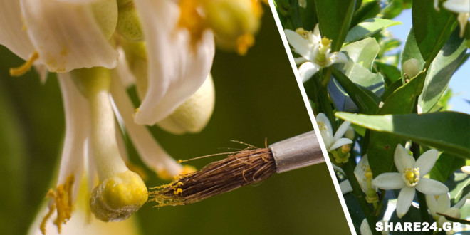 Πως να Πολλαπλασιάσετε τα Άνθη της Λεμονιάς με το Χέρι και σε Ποιες Περιπτώσεις Αυτό Χρειάζεται
