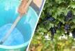 Βορδιγάλειος Πολτός – Πώς να το Φτιάξετε και πώς να το Εφαρμόσετε στο Αμπέλι και σε Άλλες Καλλιέργειες
