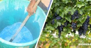 Βορδιγάλειος Πολτός - Πώς να το Φτιάξετε και πώς να το Εφαρμόσετε στο Αμπέλι και σε Άλλες Καλλιέργειες