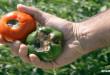 Γιατί Μαυρίζει το Κάτω Μέρος της Ντομάτας (Τάπα) & Τι μπορώ να Κάνω για να το Αντιμετωπίσω;