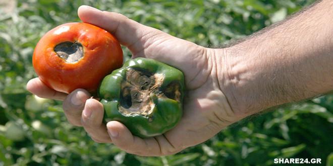 Σήψη και μάυρισμα του καρπού στο κάτω μέρος της ντομάτας και της πιπεριάς