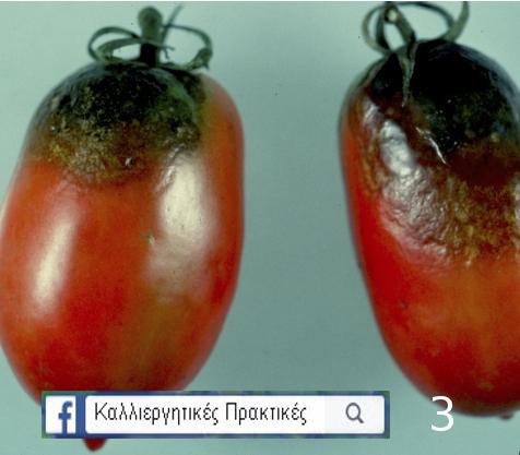 Σήψη ντομάτας από φυτόφθορα